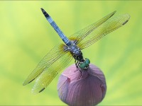 Dragonfly, ©Bahman Farzad/Flickr